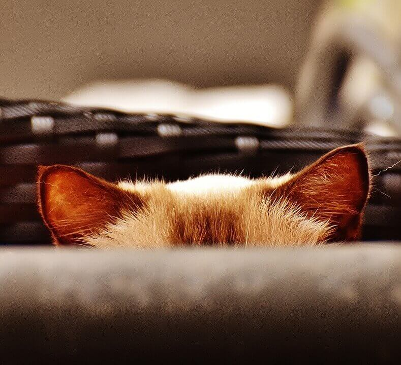 Почему у кошки горячие уши